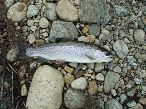 colorado lake trout