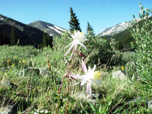 Columbine Flowers near Tincup Pass